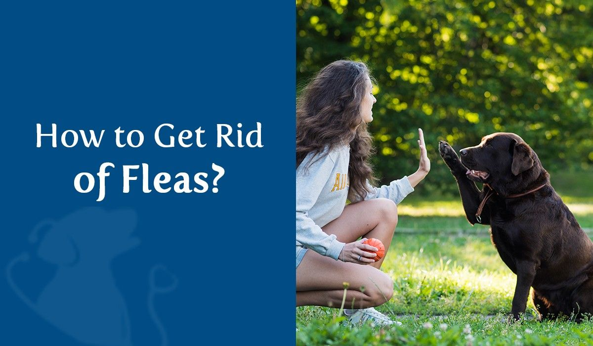 How To Get Ride of Fleas?